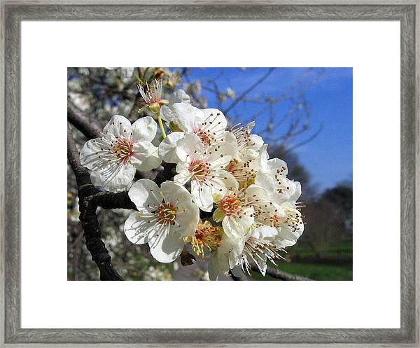 Cherry Blossom 1 Framed Print