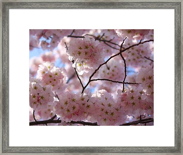 Cherry Blossoms And Blue Sky-1 Framed Print