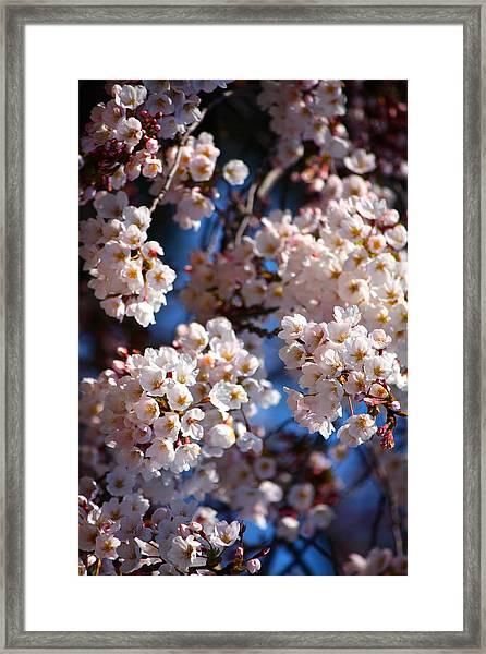 Cherry Blossoms And Blue Sky-2 Framed Print