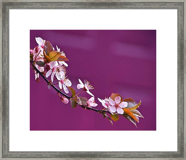 Cherry Blossoms And Plum Door Framed Print