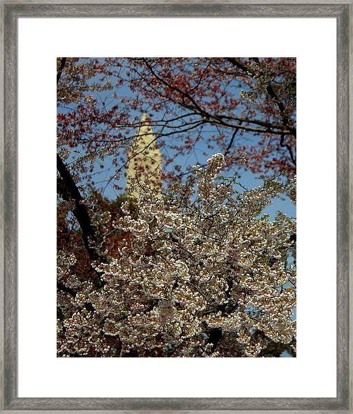 Cherry Blossoms And The Monument Framed Print