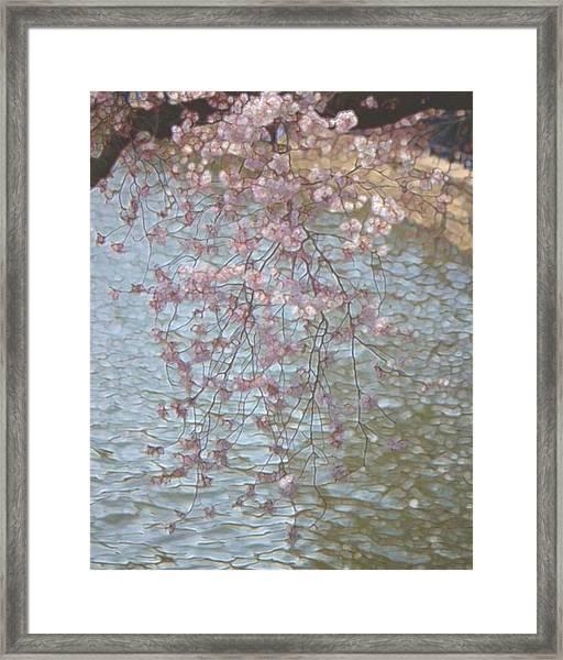 Cherry Blossoms P2 Framed Print