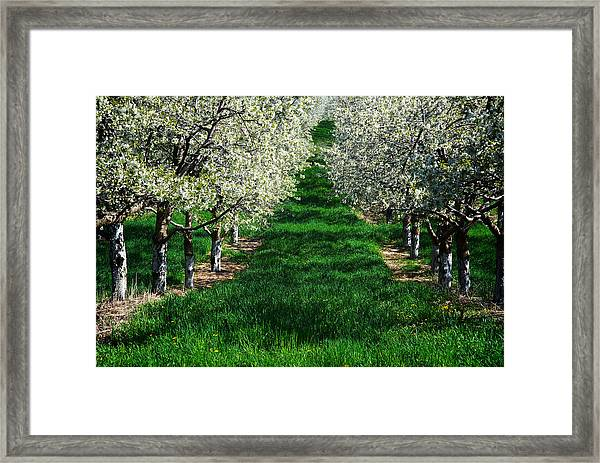 Cherry Orchard Morning Framed Print