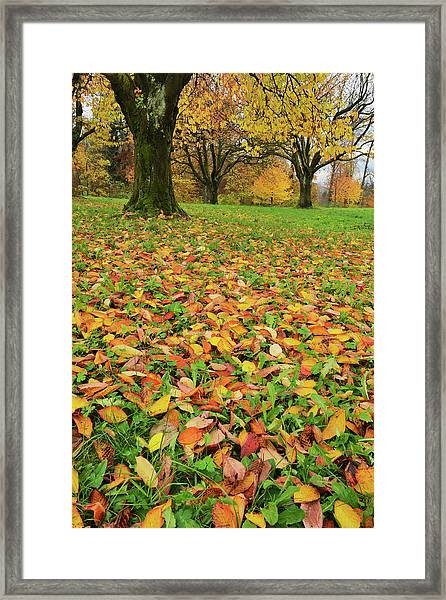 Cherry Tree Fall Colors In Orchard Framed Print by Rolf Nussbaumer