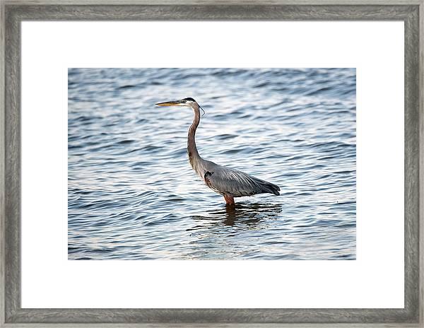 Chesapeake Bay Blue Heron Framed Print