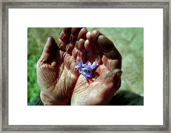Chicory Flowers In Peasants' Hands Framed Print