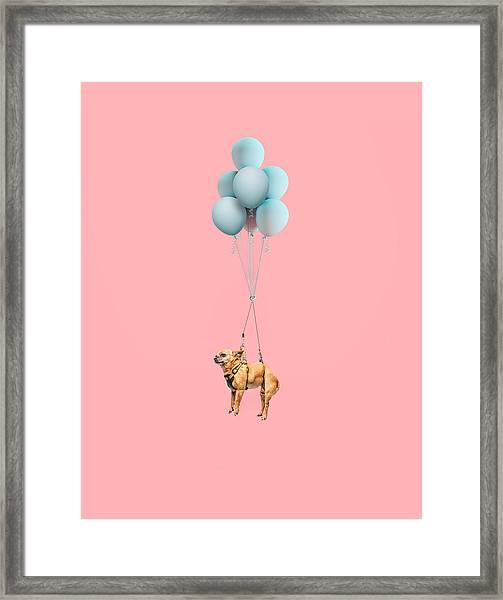 Chihuahua Dog Floating With Balloons Framed Print by Ian Ross Pettigrew