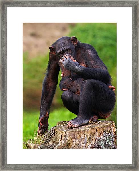 Chimp With A Baby On Her Belly  Framed Print