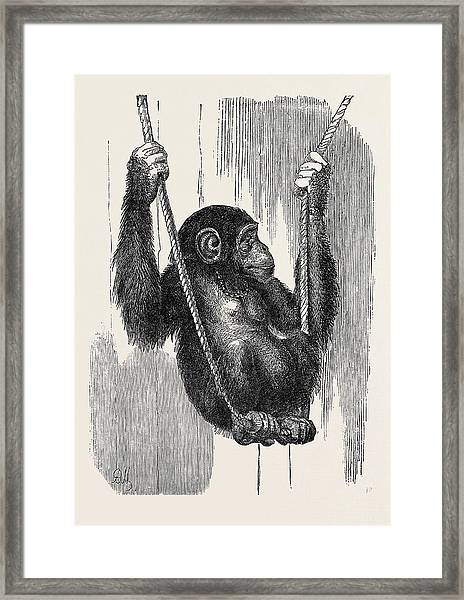 Chimpanzee, In The Gardens Of The Zoological Society Framed Print