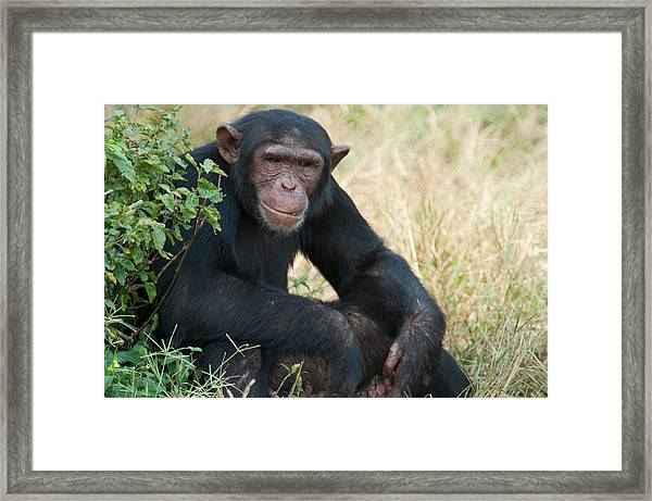 Chimpanzee Pan Troglodytes In A Forest Framed Print