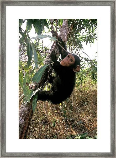 Chimpanzee Reintroduction Framed Print