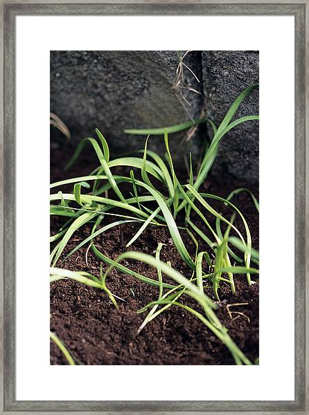 Chinese Chives Framed Print