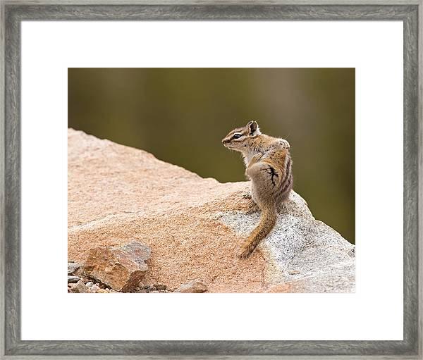 Chipmunk Framed Print by Brian Magnier