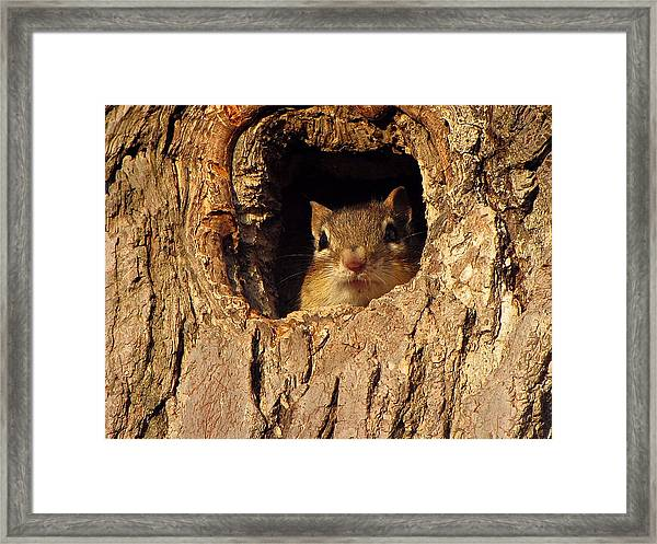 Framed Print featuring the photograph Chipmunk by David Dehner