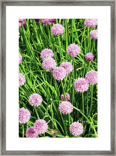 Chive (allium Schoenoprasum) Flowers Framed Print