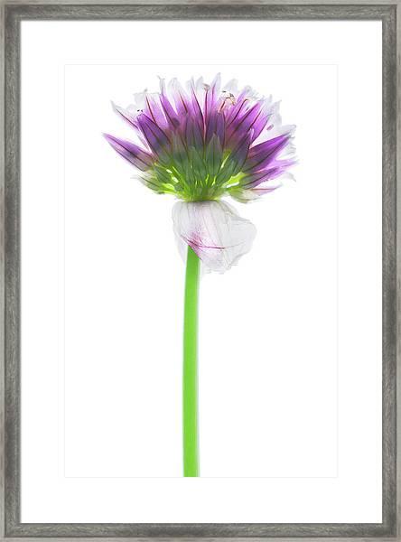 Chive (allium Schoenoprasum) Framed Print