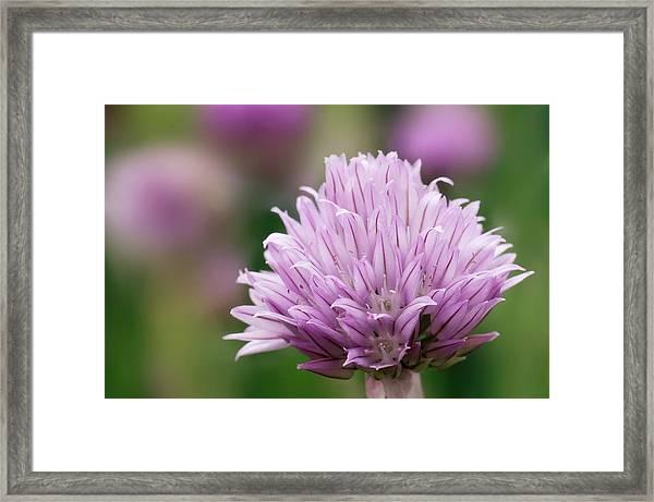Chive Flowerhead Framed Print