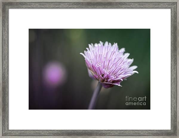 Chives Flower Macro Framed Print