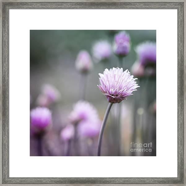 Chives Flowering I Framed Print