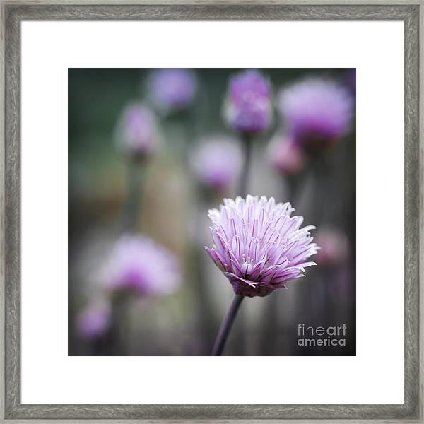 Chives Flowering II Framed Print