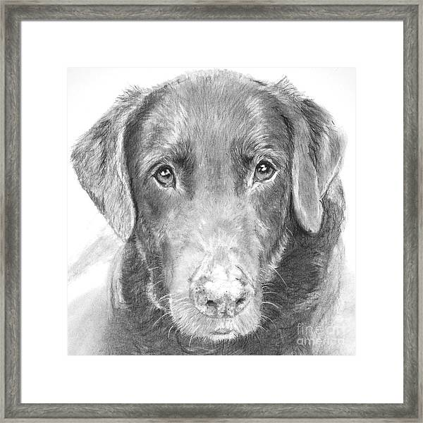 Chocolate Lab Sketched In Charcoal Framed Print