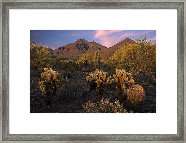 Cholla Cactus At Mcdowell Mountains Framed Print