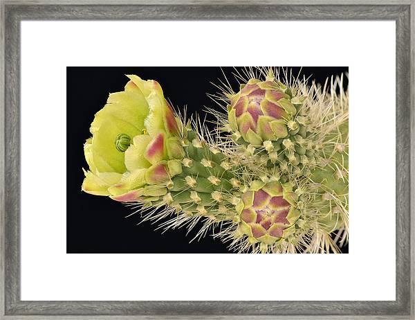 Cholla Cactus Blossom And Buds Framed Print
