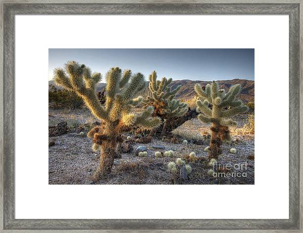 Cholla Cactus Framed Print