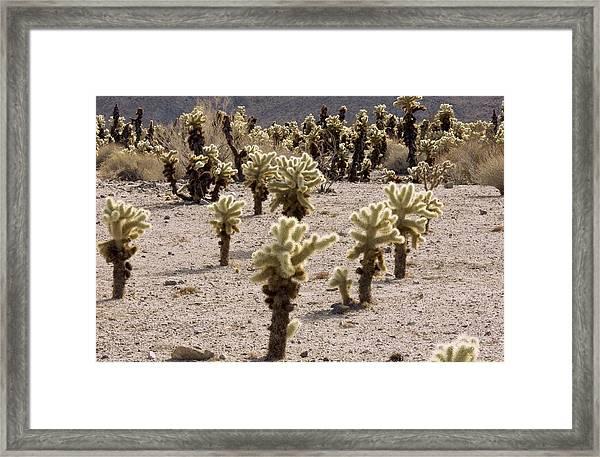 Cholla (cylindropuntia Bigelovii) Cacti Framed Print