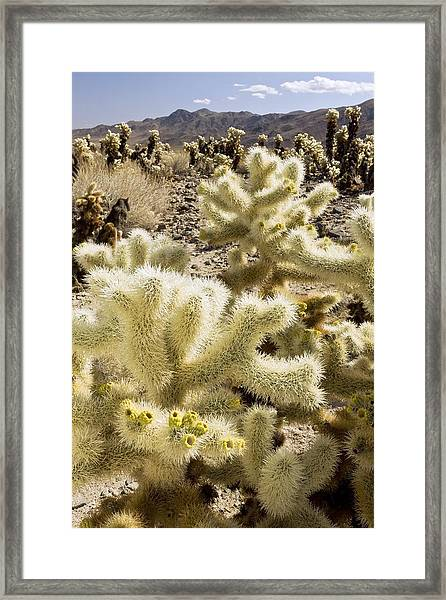 Cholla (cylindropuntia Bigelovii) Cactus Framed Print by Science Photo Library