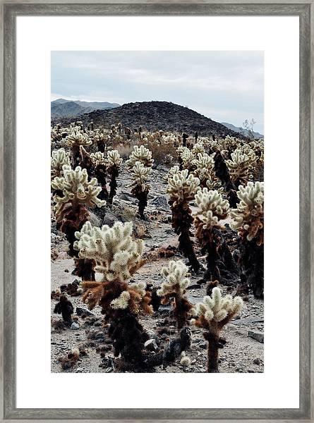 Cholla Teddy Bear Cactus Garden  Framed Print
