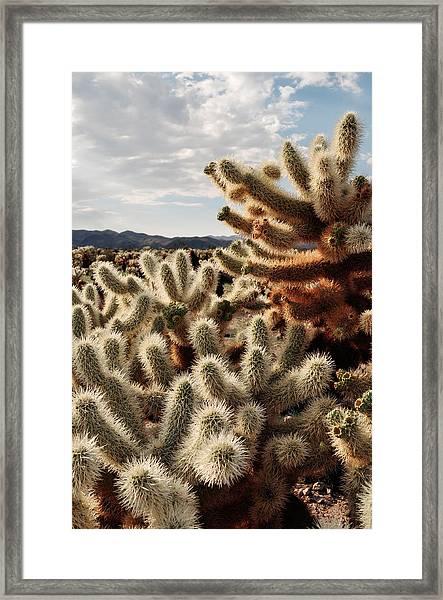Cholla Teddy Bear Cactus Garden Magic Hour Framed Print