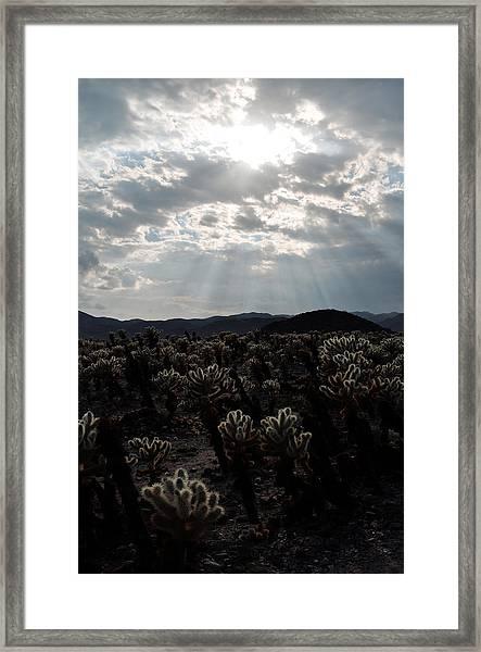 Cholla Teddy Bear Cactus Garden Sunset Framed Print