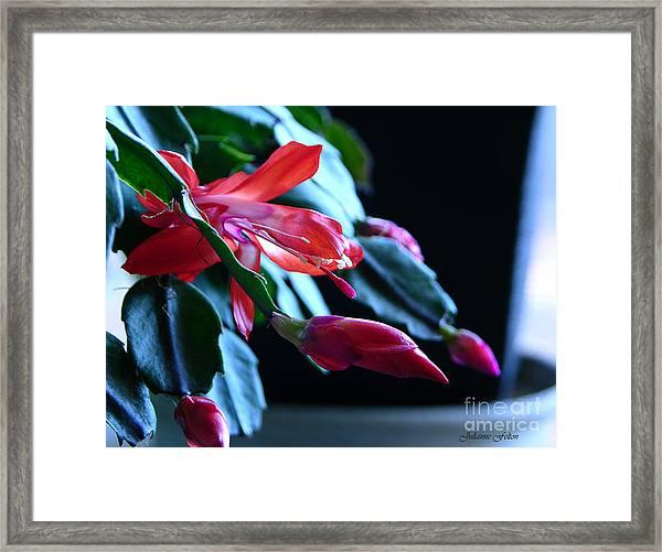 Christmas Cactus In Bloom Framed Print