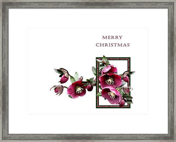 Christmas Hellebores Framed Print