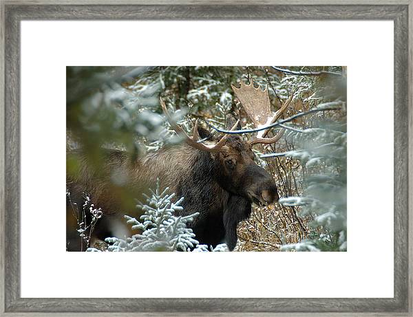 Christmas Moose Framed Print