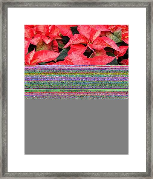 Christmas Poinsettia's Framed Print by Carol Toepke