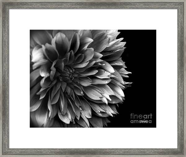 Chrysanthemum In Black And White Framed Print