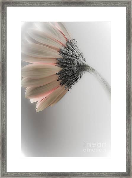 Chrysanthemum Petals 1 Framed Print