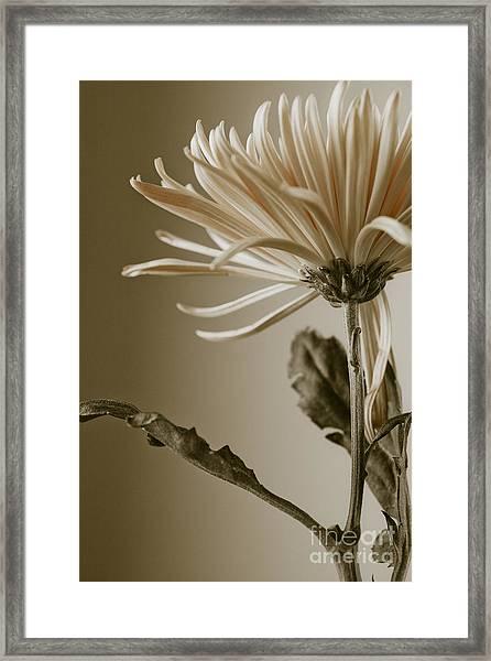 Chrysanthemum Petals 2  Framed Print