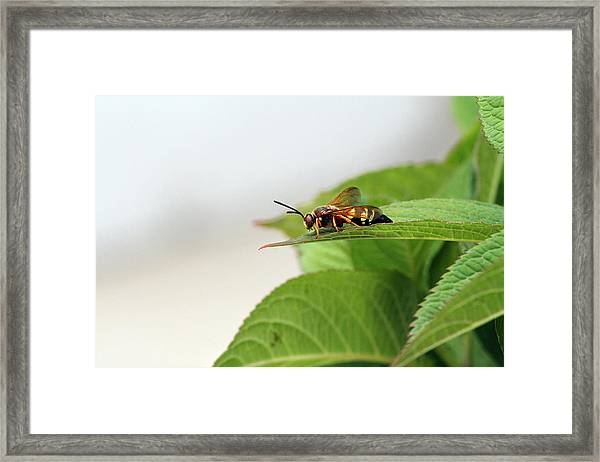 Cicada Killer Framed Print