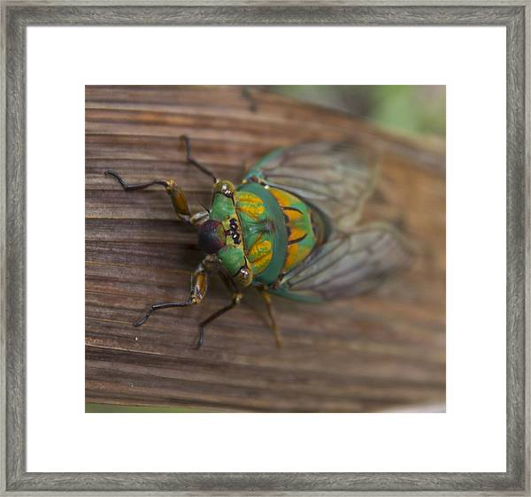 Green Whizzer Cicada Framed Print by Debbie Cundy