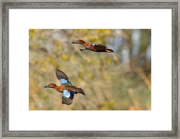 Cinnamon Teal Pair In Flight Framed Print by Craig K. Lorenz