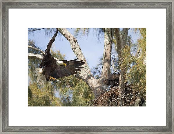 Bald Eagle Nest Framed Print