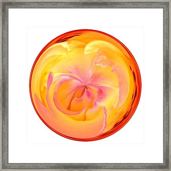 Circumspect Rose Framed Print