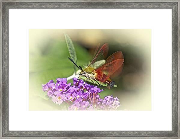 Clearwing Hawk Moth - Hemaris Thysbe Framed Print