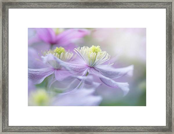 Clematis 'mayleen' Framed Print by Jacky Parker