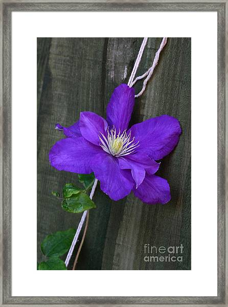 Clematis On A String Framed Print