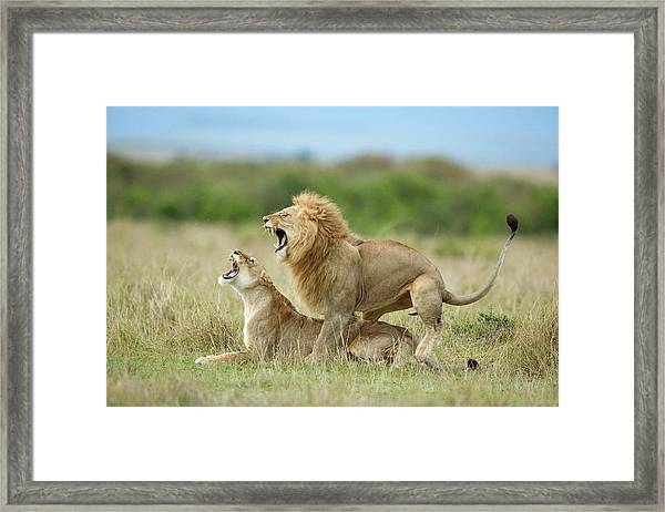 Climax ..... After The Mating Framed Print