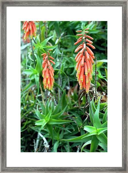 Climbing Aloe (aloe Ciliaris) Framed Print